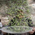 Les colons juifs font de la récolte des olives une saison de cauchemar pour les paysans en Cisjordanie