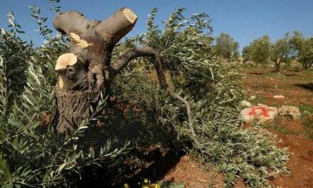 Les « pommes pourries » de Cisjordanie