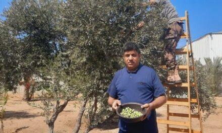 Les oliviers poussent encore à Gaza